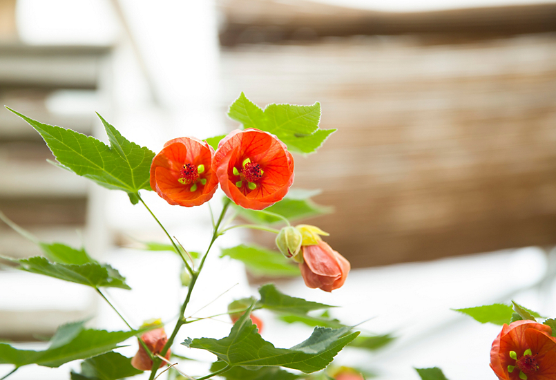 New in the Nursery: Flowering Maple