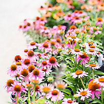 New in the nursery: colorful coneflower