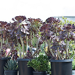 New in the Nursery: Giant Aeonium