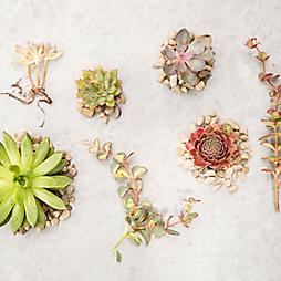 Specimen Guide: Succulents