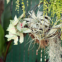 New in the Nursery: Tillandsia