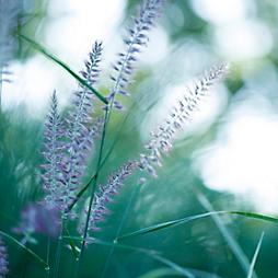New in the Nursery: Purple Perennials