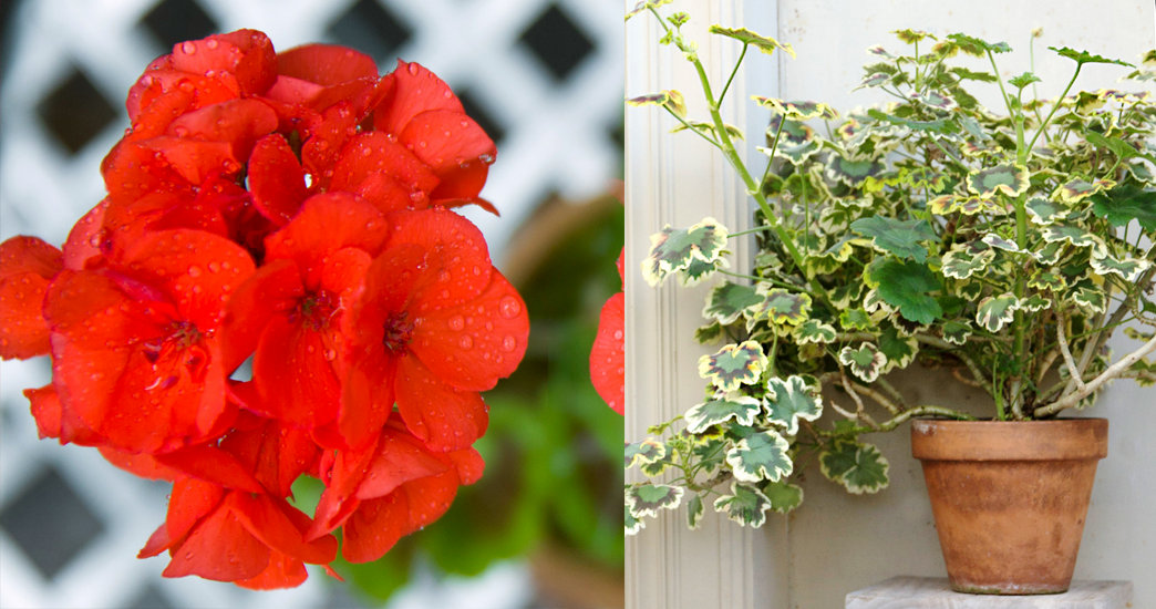 How to overwintering geraniums the blog at terrain - Overwintering geraniums tips ...