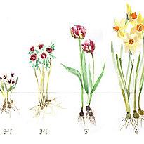 Fall Bulb Planting Guide