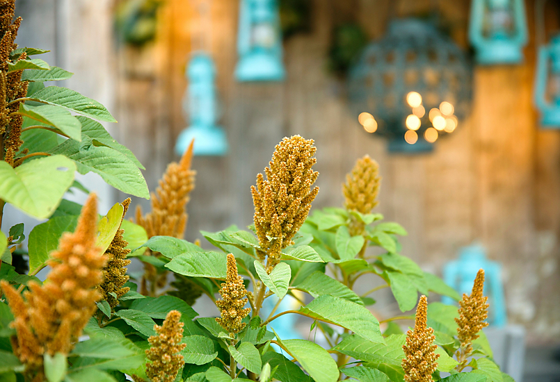 New in the Nursery: Yellow Amaranth