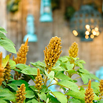 New in the Nursery: Yellow Amaranth
