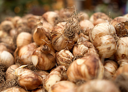 How-To: Planting & Caring For Fall Bulbs