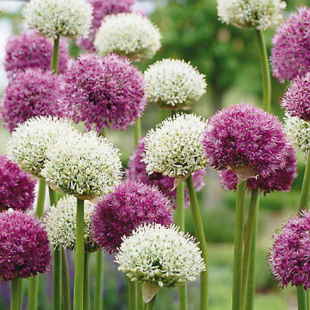 Blooming Spotlight: Allium Mix