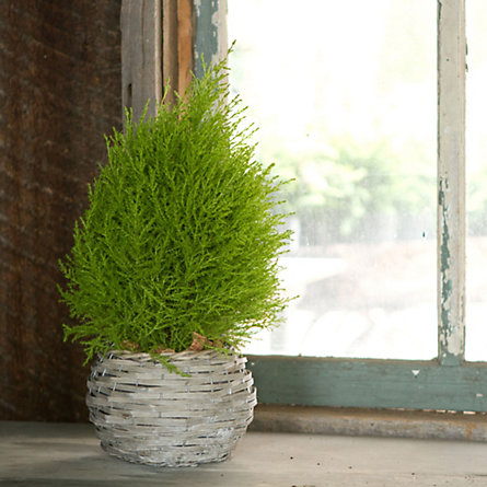 Blooming Spotlight: Lemon Cypress Cone
