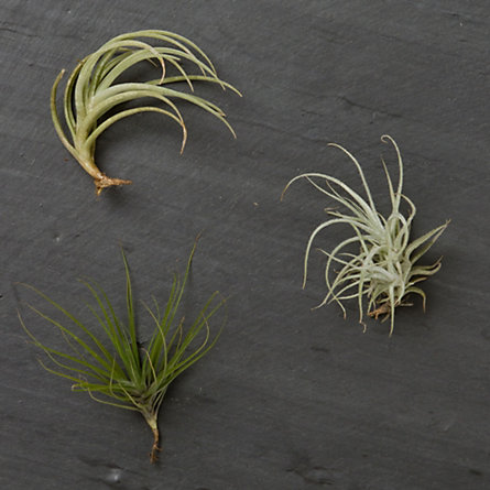 Tillandsia Trio, Small