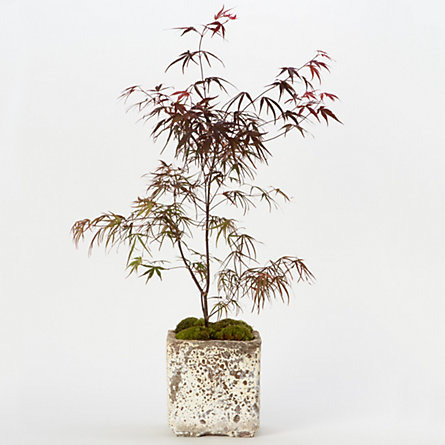 Pung kil Japanese Maple
