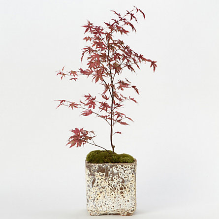 Amagi Shigure Japanese Maple