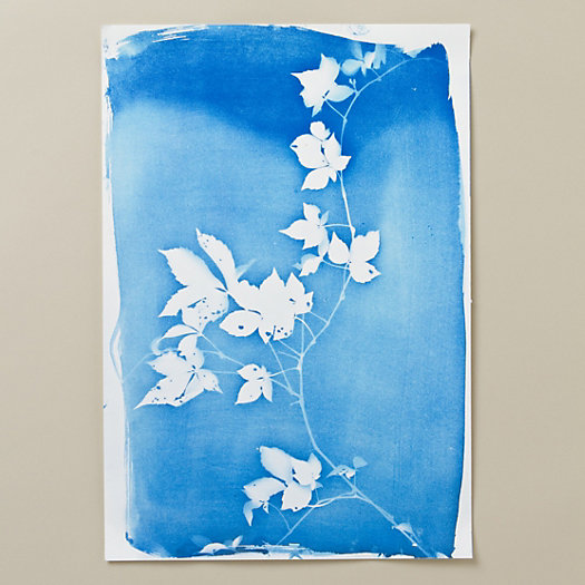 Virginia Creeper Cyanotype