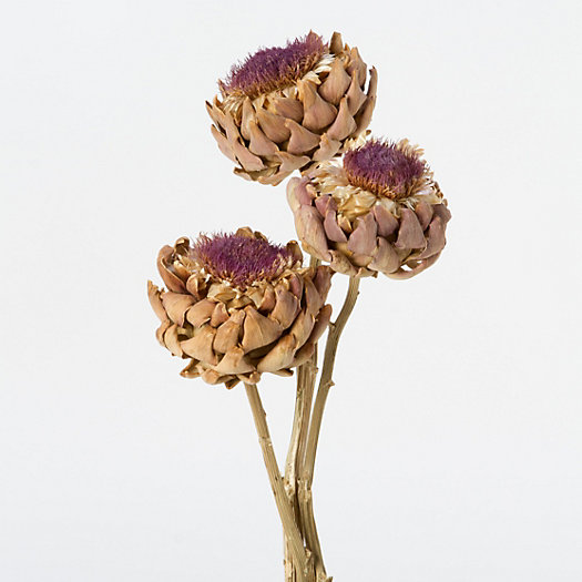 Dried Cardoon Flower Bunch
