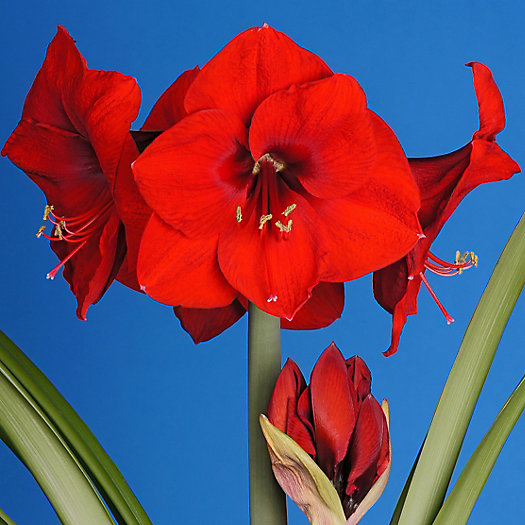 Amaryllis 'Red Lion' Jumbo Bulb