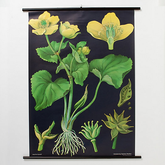 Caltha Palustris Botanical Chart