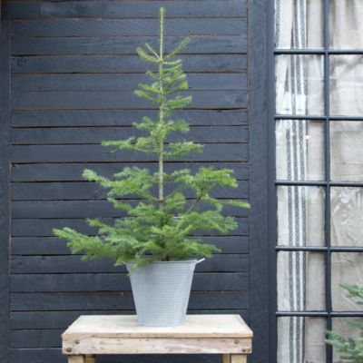 Tabletop Subalpine Fir