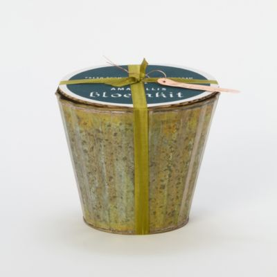 Potted Amaryllis Kit, Lemon Star