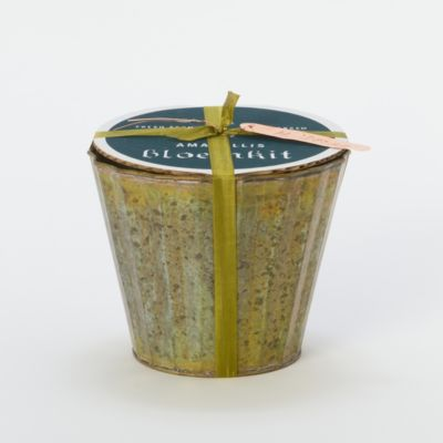 Potted Amaryllis Kit, Desire