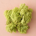 Preserved Reindeer Moss, Bright