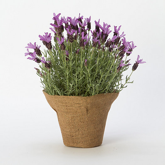 spanish lavender in mother 39 s day gifts flowers blooming at terrain. Black Bedroom Furniture Sets. Home Design Ideas