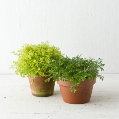 Selaginella Duo