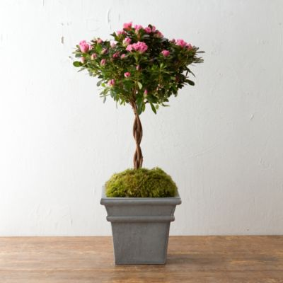 Braided Azalea Topiary