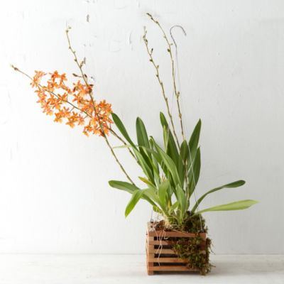 Oncidium Basket Orchid