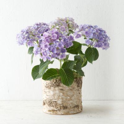 Angel's Parasol Hydrangea, Birch Pot