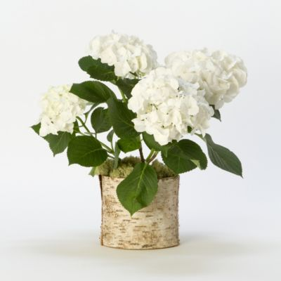 White Robe Hydrangea, Birch Pot