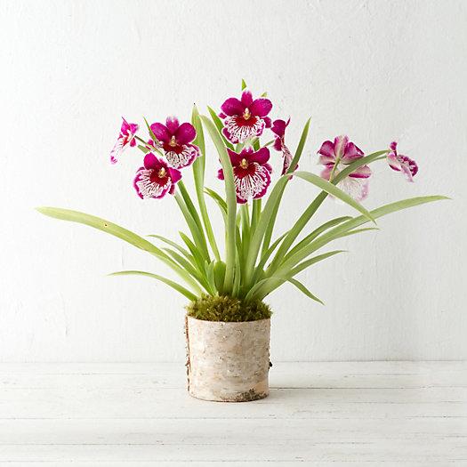 Miltoniopsis Orchid