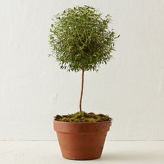 Wide Myrtle Topiary, Large