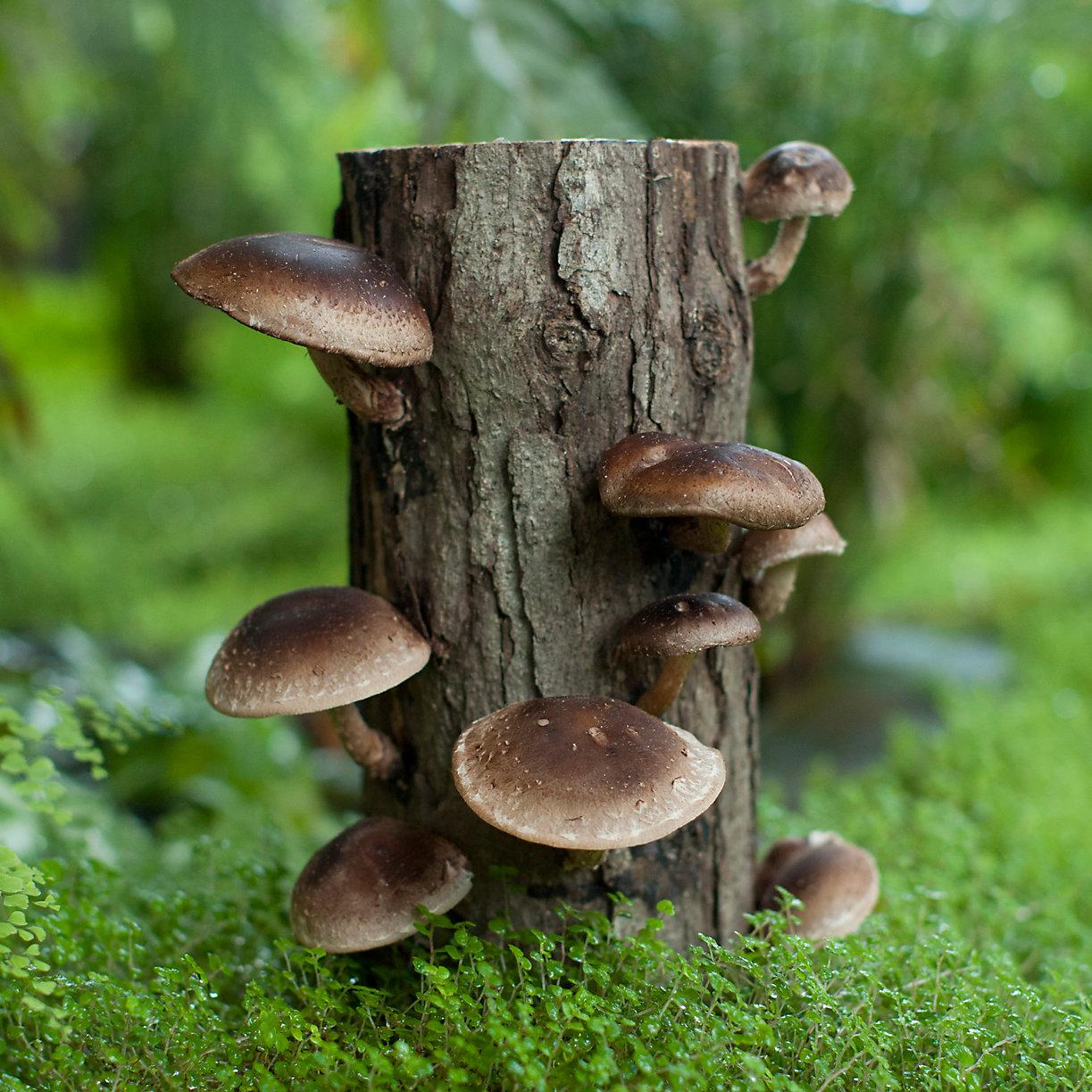 how to prepare fresh shiitake mushrooms