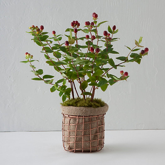 Copper Basket Hypericum