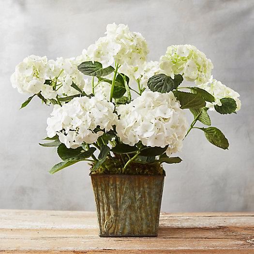 white hydrangea woodgrain pot - White Hydrangea