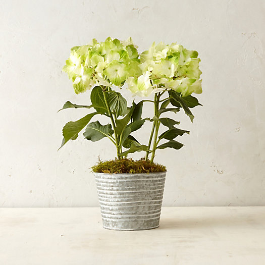 Potted noblesse hydrangea in house home branches flowers at terrain - Care potted hydrangea ...
