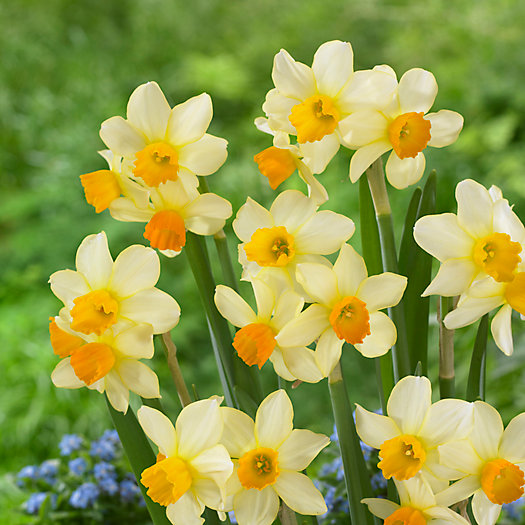 Narcissus 'Eaton Song' Bulbs