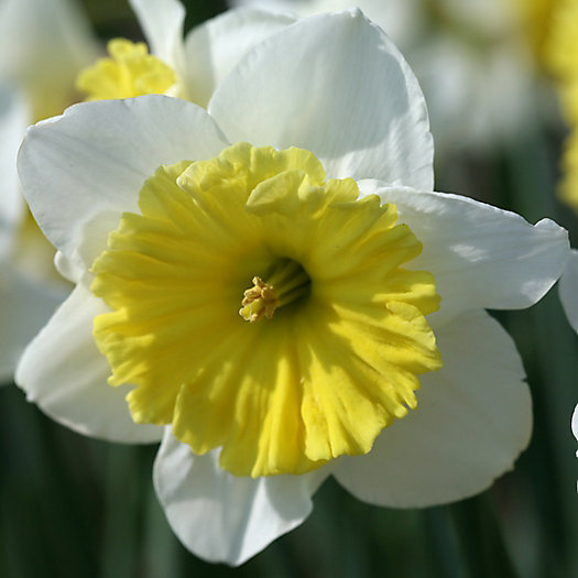 Narcissus 'Ice Follies' Jumbo Bulbs