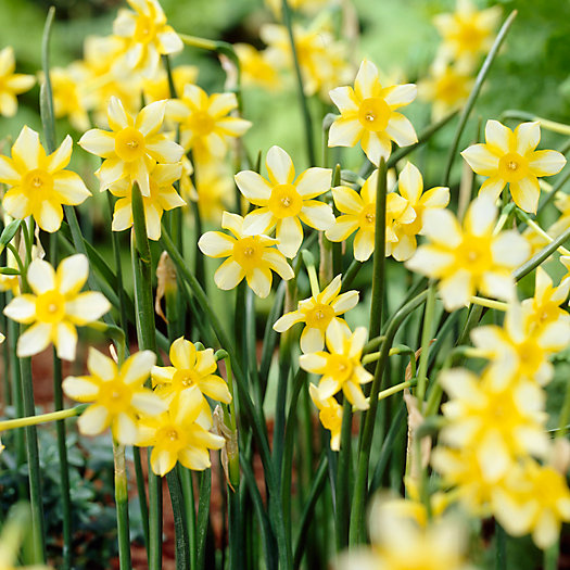 Narcissus 'New Baby' Bulbs
