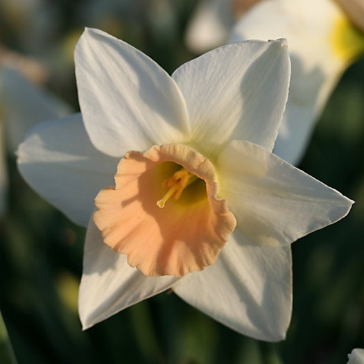 Narcissus 'Passionale' Jumbo Bulbs
