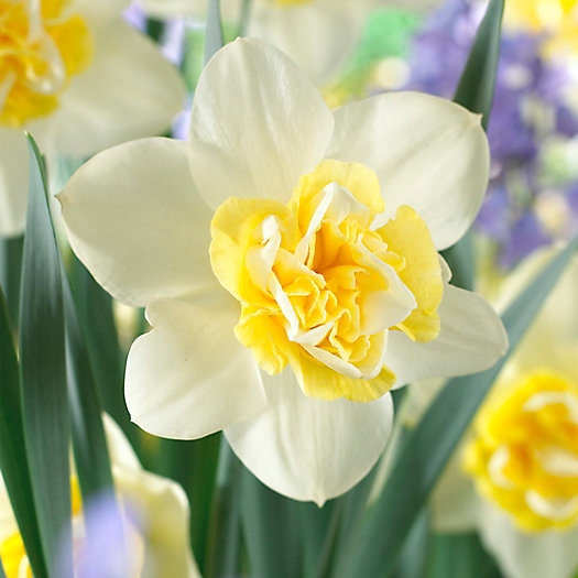 Narcissus 'Popeye' Bulbs