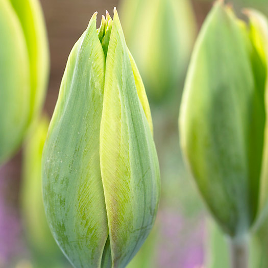 Tulip 'Evergreen' Bulbs