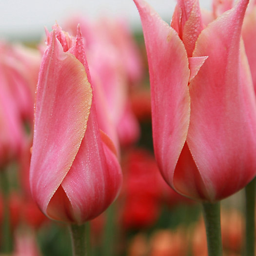 Tulip 'Perestroyka' Jumbo Bulbs