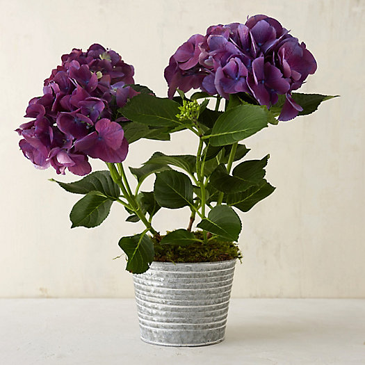 New Wine Hydrangea, Zinc Pot