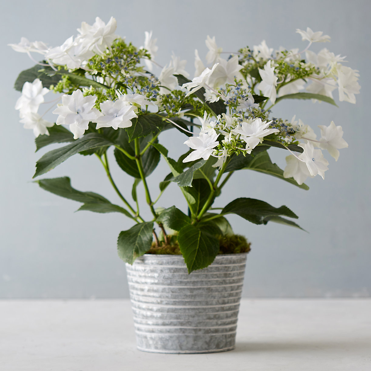 Shooting Star Hydrangea Metal Pot Terrain