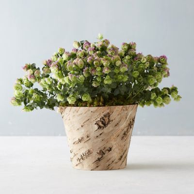 Ornamental Oregano, Birch Pot