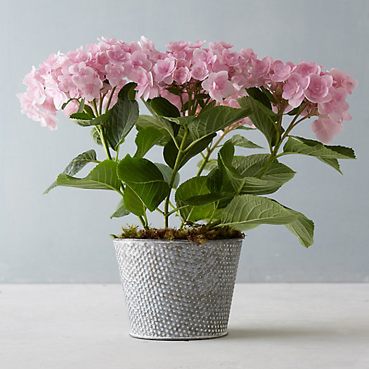 Angel's Parasol Hydrangea, Polka Dot Pot