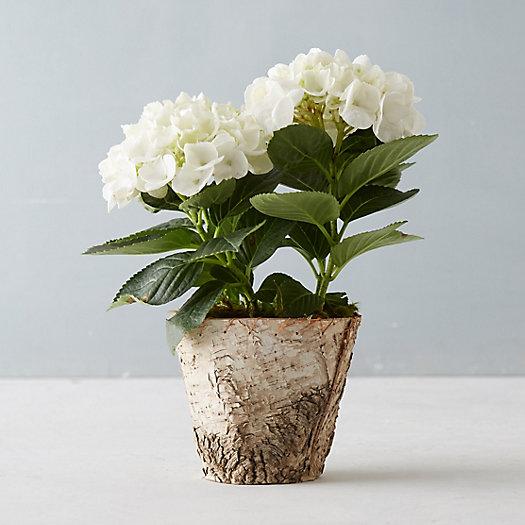 Glory hydrangea birch pot terrain - Care potted hydrangea ...