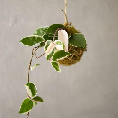 Hoya 'Tricolor' String Garden