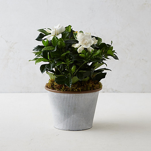 Gardenia, Small Stripe Pot
